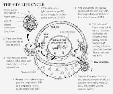life,cycle,hiv,virus